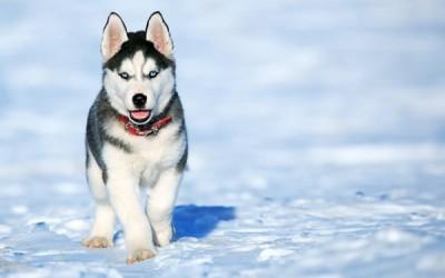 ما هي مميزات وعيوب كلاب الهاسكي ؟
