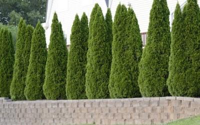 ما هي أفضل أنواع الأشجار دائمة الخضرة؟