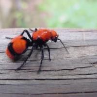 ماذا تعرف عن عن النمل المخملي؟