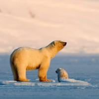 أين يعيش الدب القطبي؟