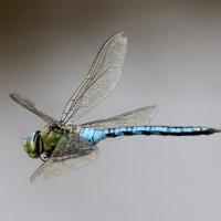 لماذا يعتبر اليعسوب من أسرع الحشرات؟