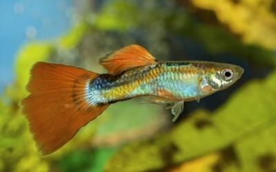 كيفية العناية وتربية سمك الجوبي في المنزل