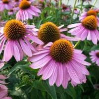 أقوى 9 نباتات من أنواع الأعشاب الطبية بالصور