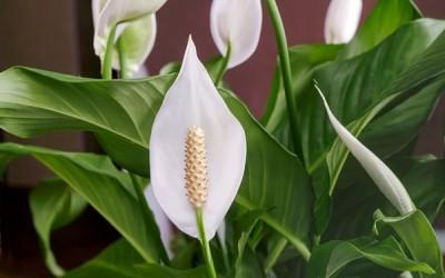 9 من أجمل النباتات المزهرة في الأماكن المغلقة