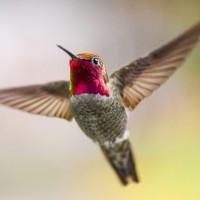 هل الطيور الطنانة هي بالفعل أصغر الطيور في العالم؟