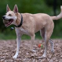 الدينغو الأمريكي، الكلب البري الأمريكي