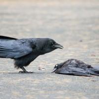 لماذا تعقد الغربان الجنازات لموتاهم؟